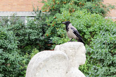 Bird raven is sitting on the head of a statue  an angel, which Vandals chipped nose Royalty Free Stock Image