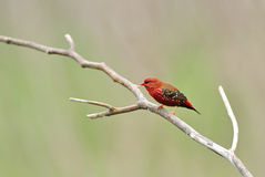 Bird (Red Avadavat) , Thailand Stock Photo