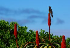 Bird on red cactus flower Royalty Free Stock Photography