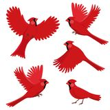 Bird red cardinal in different positions. Isolated vector illustration on white background vector illustration
