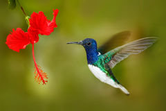 Bird with red flower. Hummingbird White-necked Jacobin, fflying next to beautiful red hibiscus flower with green forest background Royalty Free Stock Photo
