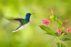 Bird with red flower. Hummingbird White-necked Jacobin, flying next to beautiful red flower with green forest background, Tandayap. A, Ecuador Stock Photography