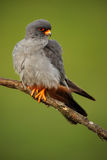 Bird Red-footed Falcon, Falco vespertinus, sitting on branch with clear green background, Hungary Royalty Free Stock Images