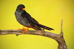 Bird Red-footed Falcon, Falco vespertinus, sitting on branch with clear green and yellow background, wildlife, animal in the natur Stock Photo