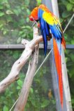 Bird, Red-and-green Macaw preening Stock Images
