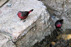 Bird, red & grey Finch stock images