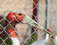 Bird with red head Royalty Free Stock Photos