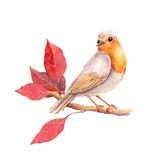 Bird with red leaves branch - autumn. Watercolor. Bird at branch with red autumn leaves. Watercolor Royalty Free Stock Photos