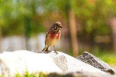 Bird with red neck flew to water for drink Royalty Free Stock Images
