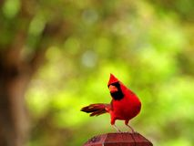 Bird, red Northern Cardinal Stock Photos