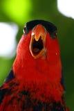 Bird - Red Parrot  Stock Photo