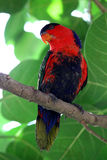 Bird - Red Parrot Stock Photography