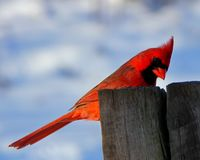 Bird, Red, Sky, Beak Royalty Free Stock Photography