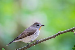 Bird Red-throated Flycatcher (Ficedula albicilla) on the branches Stock Images