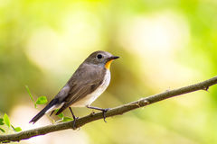 Bird Red-throated Flycatcher (Ficedula albicilla) on the branches Stock Photos