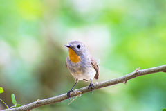 Bird Red-throated Flycatcher (Ficedula albicilla) on the branches Royalty Free Stock Photo