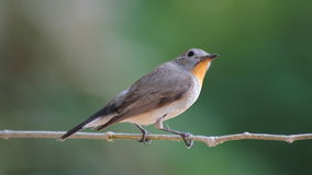 Bird Red-throated Flycatcher (Ficedula albicilla) eating a worm in tropical forests stock video