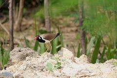 Bird. Red-wattled bird walk on floor Royalty Free Stock Images