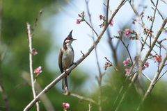Bird (Red-whiskered Bulbul) perching on beautiful branch Stock Photography