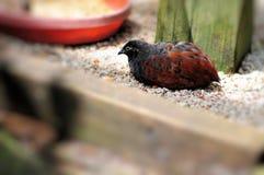 Bird, reddish-brown & black quail Royalty Free Stock Photo