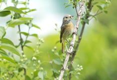 Bird Redstart (lat. Phoenicurus) Royalty Free Stock Photo