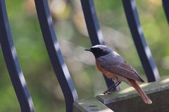 Bird Redstart Stock Photo