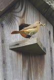 Bird Redstart at a nest Stock Photo