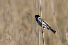 Bird - reed bunting Stock Photo