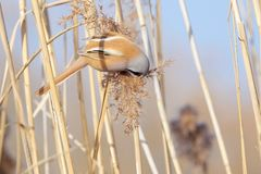 Bird on reed tassel. The male Bearded Tit eats the tassel of winter reed. Scientific name: Panurus biarmicus stock photo