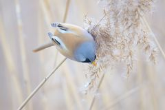 Bird on reed tassel. The male Bearded Tit stands on tassel of winter reed. Scientific name: Panurus biarmicus stock photos
