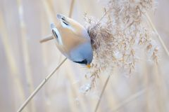 Bird on reed tassel. The male Bearded Tit stands on tassel of winter reed. Scientific name: Panurus biarmicus stock photography