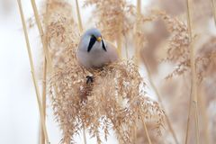 Bird on reed tassel. The male Bearded Tit stands on tassel of winter reed. Scientific name: Panurus biarmicus stock images