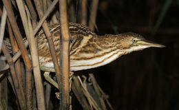 The bird in the reeds. Stock Photography