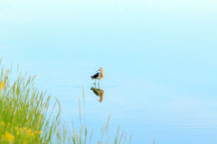 Bird reflected in water Royalty Free Stock Photo