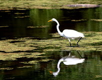 Bird reflection. An egret reflection in a murky lake Royalty Free Stock Image