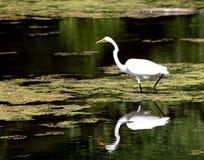Bird reflection Royalty Free Stock Image