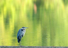 Bird reflection background Royalty Free Stock Images