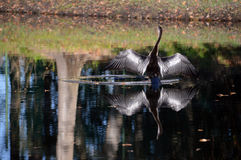 Bird reflection. A bird on a pond with wings spread reflecting on the water Royalty Free Stock Image