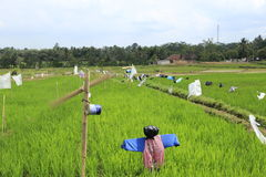Bird repellent. Man sculpture and windmill as bird repellent for maintain rice field Stock Image