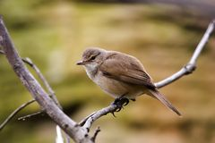 Bird resting in a branch. A small bird sitting in a branch royalty free stock photography