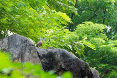 A bird resting in isolation on a rock. In a forest. Very nice green bokeh background Royalty Free Stock Photo