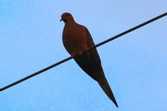 Bird resting on a power line. Dove royalty free stock photography