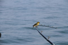 Bird rests on a fishing rod. GOLD FINCH TAKES A BREAK IN THE MIDDLE OF  LAKE ERIE BY SITTING AND RESTING ON A FISHING POLE Stock Photos