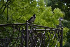 A big gray crow sits on the fence royalty free stock photos