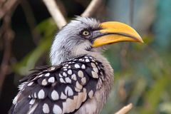 Bird rhinoceros Jacksons current bill is large plumage Royalty Free Stock Photography