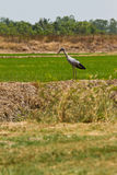 Bird in the rice field Stock Images