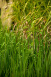 Bird in the rice field Royalty Free Stock Photos