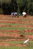 Bird on a rice fields Stock Photography