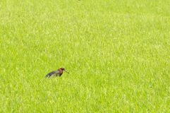Bird in rice filed. Stock Photos