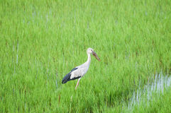 Bird in rice filed. Bird standing in rice filed Royalty Free Stock Photos